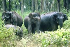 Three is a crowd!! (pulak_bose) Tags: travel wild india elephant forest canon wildlife jungle karnataka 70300mm bandipur 500d tigerreserve mudumalai