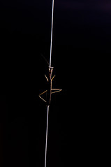 Climbing the line -praying mantis- (Okinawa Nature Photography) Tags: nature japan by mantis insect praying picture miller photograph shawn eater preying thefeastbeforetyphoonsongdanagahama okinawajapannikond90 105mmmacrolensinsectpicturesnature