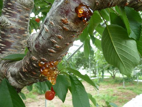 さくらんぼの蜜