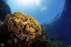 Salad & Snells (digidiverdeb) Tags: blue nikon colorful underwater redsea dive corals whirlwind reefscene tokina1017 snellswindow debihenshaw nauticamd300s