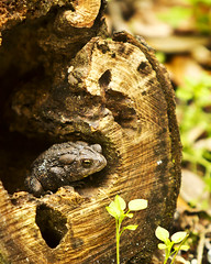 Toad (jlstoner) Tags: nature log woods southcarolina amphibian toad stump magnoliaplantation