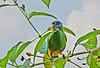 Dacnis cayana (mazama973) Tags: bird birds aves oiseau frenchguiana thraupidae dacniscayana bluedacnis dacnisbleu