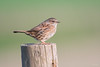 Dunnock (Shane Jones) Tags: dunnock hedgesparrow bird wildlife nature nikon d500 200400vr tc14eii