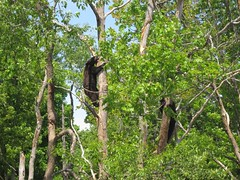 Yearling black bear cubs climbing trees