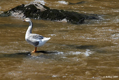 Goose on the Wye River
