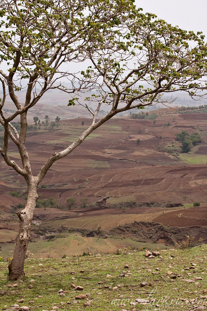 Tree, Gälawdios, Amhara, Ethiopia, July 2009