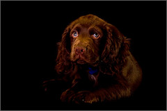 Sad Face (andrewwdavies) Tags: shadow dog pet brown cute green woof beautiful puppy big eyes chocolate hound ears canine explore sleepy age tired spaniel 12 cocker pup liver warmup softbox gel thebeast gundog cto sadface onblack 10weeks hotshoe canonspeedlite430ex offcameraflash explored pocketwizard canonef24105mmf4lisusm strobist plusii interfitex150 canon40d canonspeedlite580exii colourtemperatureorange andrewwilliamdavies 24inchezfold