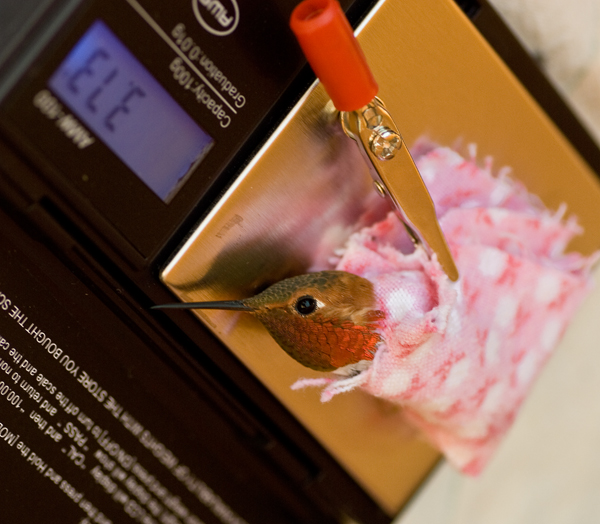 Rufous Hummingbird being weighed