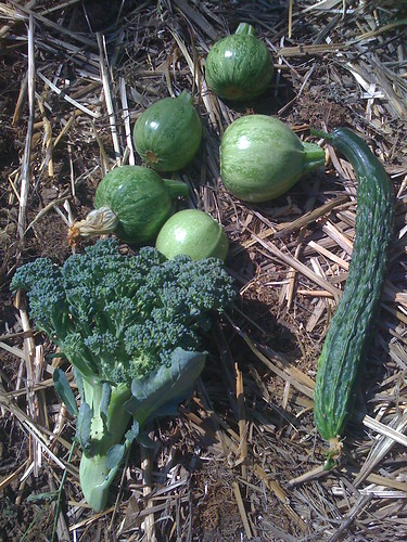 8-ball summer squash, armenian cucumbers and broccoli @ Portlands Hawthorne Urban Farmers Market