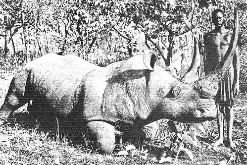 Big-horned rhino killed in Uele