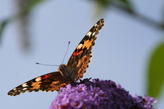 Painted Lady (Derable) Tags: butterfly paintedlady