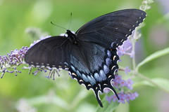 Black Magic (hotes trinkets/DaydreamingKat) Tags: summer macro nature butterfly garden wings flickr natural bokeh mygarden swallowtail blackswallowtail naturesfinest summergarden blackmagic straightfrommycamera nocolorsadded sonyalphadslra700 pollinationstation absolutelynatural magicinthegarden augustatthehouse