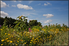 Edges of arable fields / Akkerranden (BraCom (Bram)) Tags: flowers plants nature canon natuur insects agriculture planten bloemen insecten goereeoverflakkee landbouw akkerrand bracom landedges