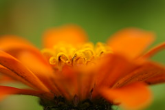 Screamin' (hotes trinkets/DaydreamingKat) Tags: orange hot flower yellow flickr august zinnia nophotoshop nocrop straightfrommycamera nocolorsadded sreamin hotestrinkets kaugustatthehouse