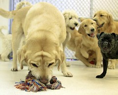 Stop Laughing (Back in the Pack) Tags: dog calgary dogs laughing goldenretriever puppy golden lab funny yellowlab joke jazz pug brunswick laugh neko poseidon jewel goldendoodle teeka malie dogdaycare 40d tamron1750mmf28 thelittledoglaughed eos40d wwwbackinthepackca albertabarks