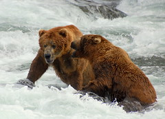 You Talking to Me? (Scott Michaels) Tags: bear alaska nikon feeding salmon ursus brownbear brooksfalls d40 katmainationalpark nikon70300mmvr