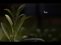Sage (vanderscheer) Tags: green garden sage commonsage