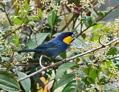 Purplish-mantled Tanager (Iridosornis porphyrocephalus)