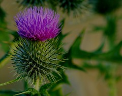 The Thistle                   This is Scotland