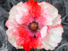 Blended Poppy 3D Effect 004 (Chrisser) Tags: flowers summer ontario canada nature photoshop garden gardening fourseasons poppies closeups papaver papaveraceae olympuscamediac765 3deffects itsanaddiction