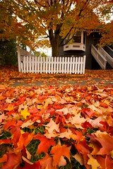FallenLeavesinYard (sweber4507) Tags: autumn red orange yellow yard garden gold maple neighborhood ochre 97202 autumnfallbrooklynportlandpdxleafleavescolorvibrantred