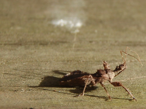 spiny legged assassin bug