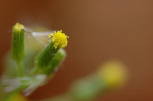 Senecio sylvaticus | Boskruiskruid - Woodland groundsel