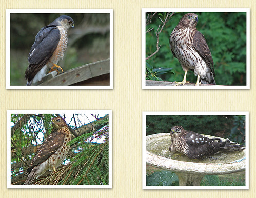 HAWK COLLAGE