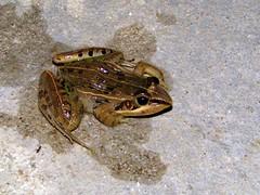 Mascarene Ridged Frog. Ptychadena mascareniensis. (Linda DV) Tags: geotagged canon madagascar ranomafana frog ptychadenamascareniensis mascareneridgedfrog amphibian lindadevolder powershots5is 2009 africa amphibia