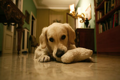 piccole Blu crescono (alicudi) Tags: dog cane goldenretriever blu fliccher mariateresadellaquila
