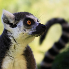 Ring-tailed Lemur - S@ilor