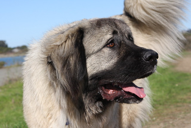 Caucasian Mountain Dog Breeds