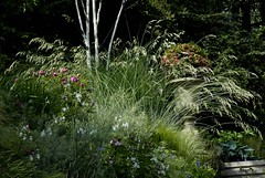 The beauty of ornamental grasses (Rosarian49) Tags: flowers plants gardens switzerland blumen zrich garten urbangardens citygarden mossroses cottagegarden hirslanden ornamentalgrasses privategardens betulautilis rabatten privatgarten rosarian49 grasslilies yourowngarden