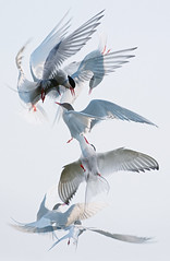Scrapping tern montage (Mike Ashton) Tags: uk birds fight wings movement nikon flight beak feather aerial montage scrapping shetlands arctictern dapagroupmeritaward