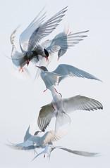 Scrapping tern montage (Mike Ashton) Tags: uk birds fight wings movement nikon flight beak feather aerial montage scrapping shetlands arctictern dapagroupmeritaward