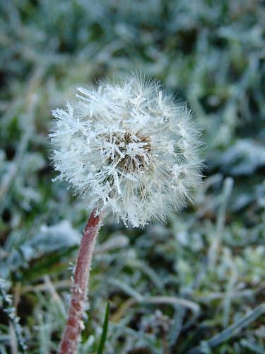 Frozen Dandylion Fluff