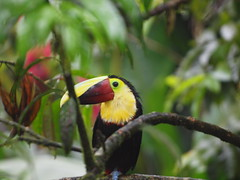 Chestnut-mandibled Toucan (zerokarma) Tags: toucan costarica chestnutmandibledtoucan waterfallgardens lapazwaterfallgardens lapazwaterfall