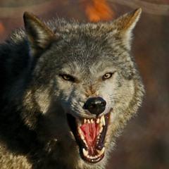 Yawning Wolf (Gary Wilson แกรี่ วิลสัน) Tags: ireland dublin nature animal photography eos grey zoo photo wolf foto wildlife gray canine 7d lobo lupus greywolf dublinzoo canid 100400l garywilson