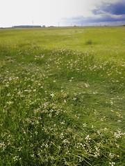 Oenanthe silaifolia. Narrow-leaved Water-dropwort. Habitat. (All Botanical Photography) Tags: oenanthesilaifolia narrowleavedwaterdropwort dropwort apiaceae umbelliferae