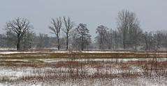 IMGP5498 (Henk de Regt) Tags: bos sneeuw natuur bomen riet landschap oerbos nederlandsenatuur beekbergerwoud klarenbeek veluwe forest snow nature trees reeds landscape virginforest dutchnature