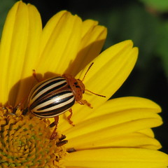 beetle on yellow (Vicki's Nature) Tags: flower yellow yard canon georgia beetle s5 heliopsis potatobeetle colorphotoaward colourartaward goldstaraward vickisnature explorewinnersoftheworld beautifulworldchallenges bwcgbeetles