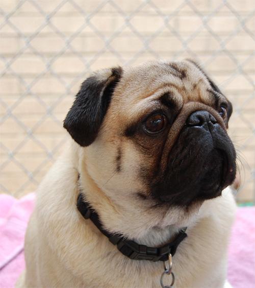 Henry - Pug