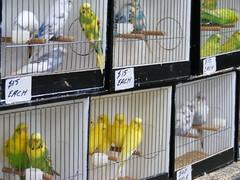 Budgies (tiny_teesha) Tags: show bird budgie ballarat
