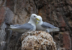 "Kittiwakes .. ""stuck in the middle with you"" (Chris Sharratt) Tags: morayfirth kittiwake rissatridactyla"