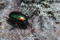 (Andrew Snyder Photography) Tags: nature bug insect wildlife beetle conservation honduras andrew jungle cloudforest biology snyder jewel centralamerica scarab cusuco operationwallacea opwall merendon chrysina andrewsnyder cusuconationalpark asnyder5