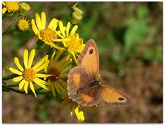 Gatekeeper on ragwort (macfudge1UK) Tags: uk summer england flower nature yellow fauna butterfly bug insect flora europe wildlife ngc lepidoptera bloom 2009 soe oxfordshire gatekeeper oxon ragwort blueribbonwinner pyroniatithonus hedgebrown stantonharcourt allrightsreserved britishwildflowers bej commonragwort countryfile overtheexcellence s100fs qualitypixels fujifilmfinepixs100fs beautifulmonsters alittlebeauty fujifilmfinepixs100fsawards gatekeeperakahedgebrown