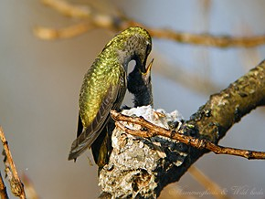 Anna's Hummingbird nest baby f02091-2