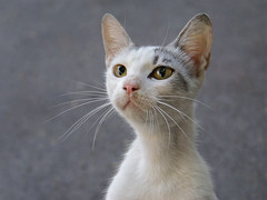 Passport Photo (Dragan*) Tags: portrait white face animal cat eyes kitten whiskers getty nina vibrissae exspression