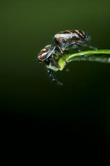 Where to next, I wonder! (ROQUE141) Tags: spider jumping araña naturesfinest saltarina