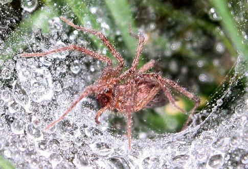 Spider in dewy grass